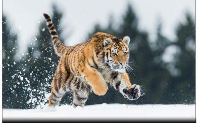 Schönes Video von unserem Sibirischen Tiger aufgenommen während eines der Workshops..