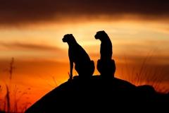 geparden-sundowner