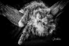Perserkatzen kitten im Studio