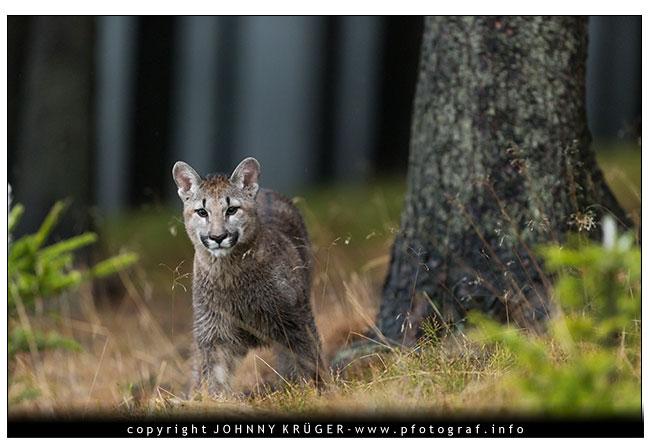 11/2016 – Puma, Eulen und Habicht