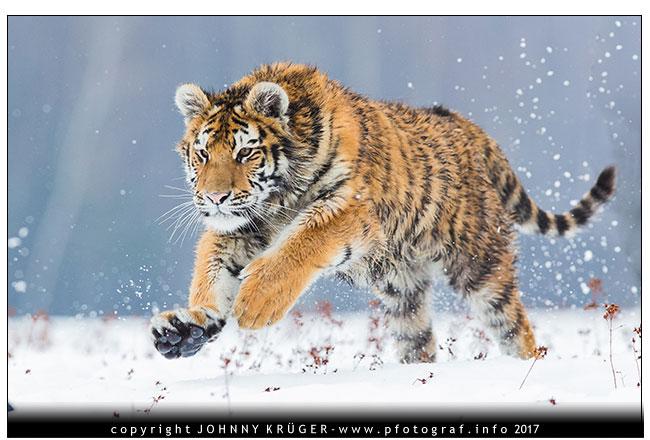 Sibirischer Amour Tiger