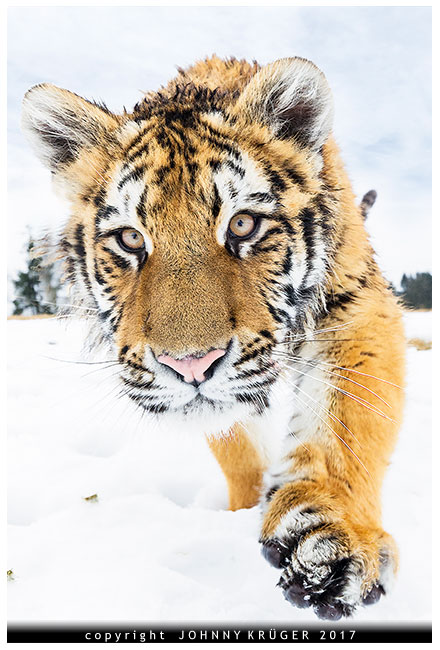 tiger-approach