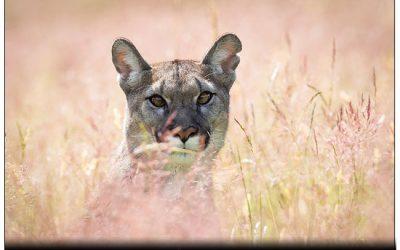 06/2017 Puma, Jungfuchs, Schleiereule und Raufusskauz Jungvogel