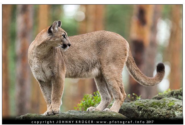07/2017 Puma, Füchse, Seeadler, Raufusskauz und Schleiereule