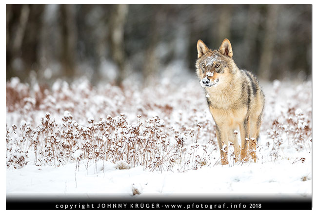 Eurasicher Wolf - Canon EOS 5D mk4 - Sigma 120-300mm F2,8 DG OS HSM | Sports 1