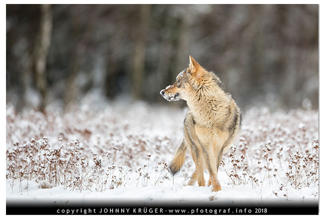 Eurasicher Wolf - Canon EOS 5D mk4 - Sigma 120-300mm F2,8 DG OS HSM | Sports 2