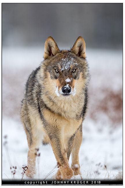 Eurasicher Wolf - Canon EOS 5D mk4 - Sigma 120-300mm F2,8 DG OS HSM | Sports 4