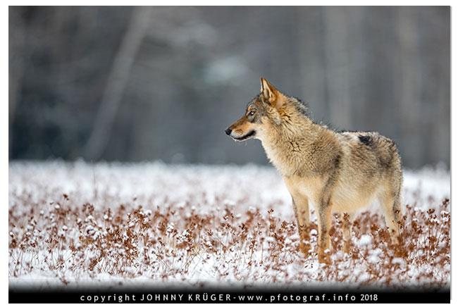 Eurasicher Wolf - Canon EOS 5D mk4 - Sigma 120-300mm F2,8 DG OS HSM | Sports 5
