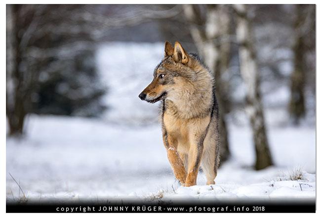 Eurasicher Wolf - Canon EOS 5D mk4 - Sigma 120-300mm F2,8 DG OS HSM | Sports 6