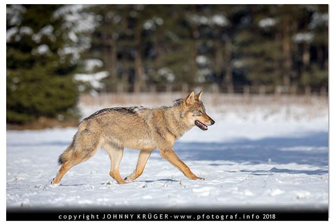 Eurasicher Wolf - Canon EOS 5D mk4 - Sigma 120-300mm F2,8 DG OS HSM | Sports 7
