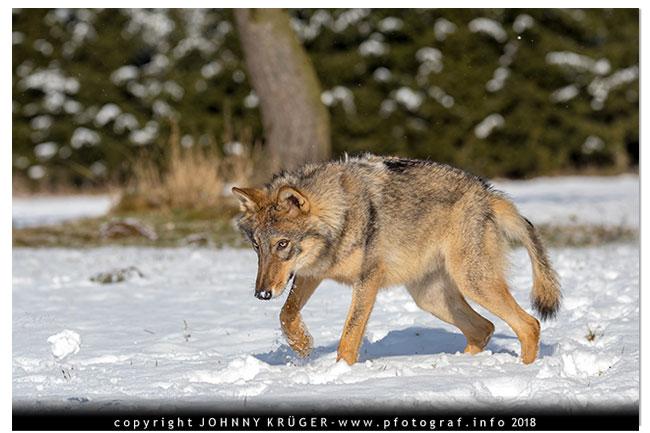 Eurasicher Wolf - Canon EOS 5D mk4 - Sigma 120-300mm F2,8 DG OS HSM | Sports 8