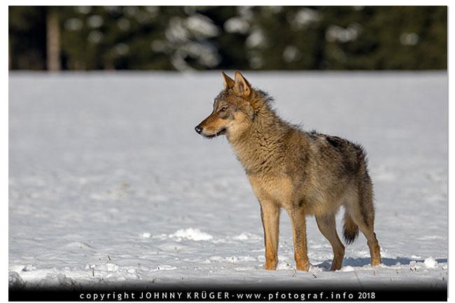 Eurasicher Wolf - Canon EOS 5D mk4 - Sigma 120-300mm F2,8 DG OS HSM | Sports 9