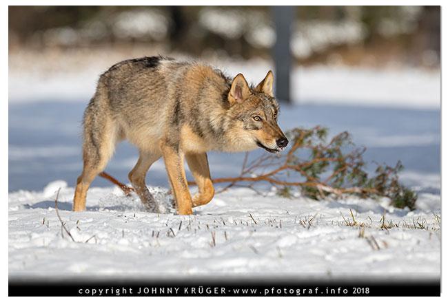 Eurasicher Wolf - Canon EOS 5D mk4 - Sigma 120-300mm F2,8 DG OS HSM | Sports 10
