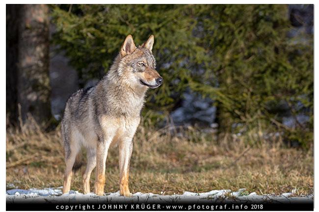 Eurasicher Wolf - Canon EOS 5D mk4 - Sigma 120-300mm F2,8 DG OS HSM | Sports 11