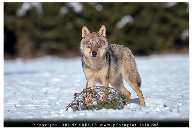 Eurasicher Wolf - Canon EOS 5D mk4 - Sigma 120-300mm F2,8 DG OS HSM | Sports 12
