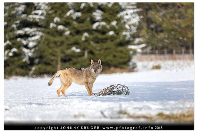 Eurasicher Wolf - Canon EOS 5D mk4 - Sigma 120-300mm F2,8 DG OS HSM | Sports 13