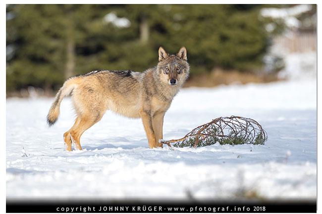 Eurasicher Wolf - Canon EOS 5D mk4 - Sigma 120-300mm F2,8 DG OS HSM | Sports 14