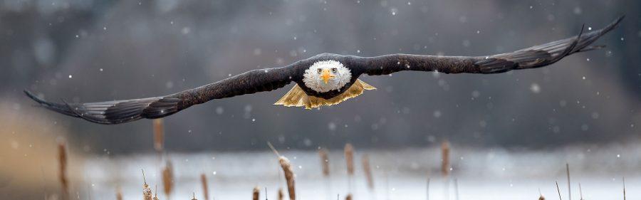 banner-weisskopfseeadler