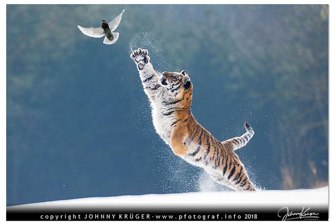 3/18 Tiger und Fuchs im Schnee