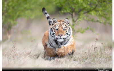 4/18 Tiger, Fuchs, Seeadler und Steinmarder im Frühling