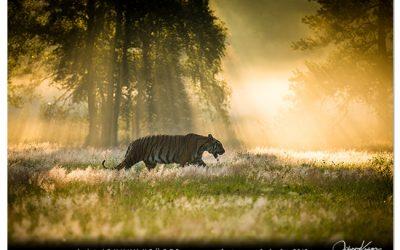 7/18 Tiger und Fuchs Fotoshoot im Sommer