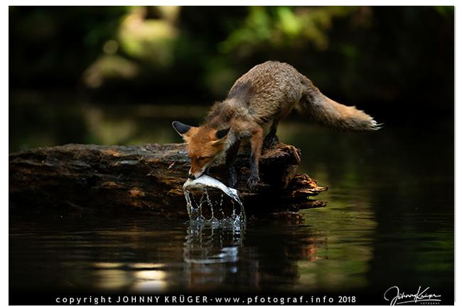 fuchs beim fischen 3