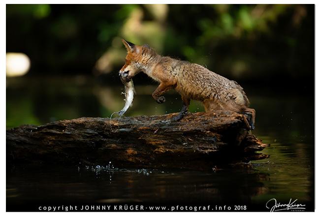 fuchs beim fischen 4