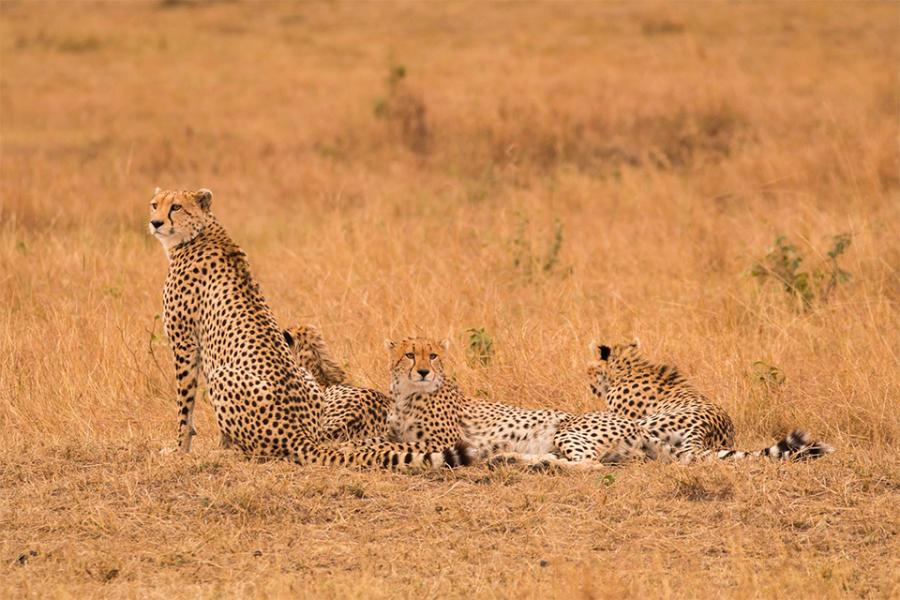 Geparden-Manuel_Ketterer