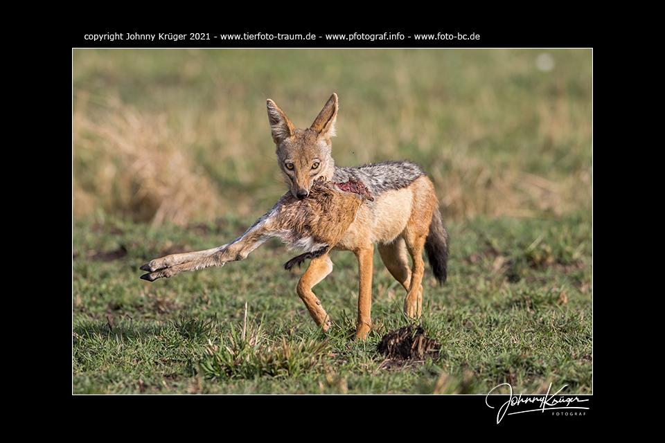Sonstige Räuber, Aasfresser und Vegetarier – Maasai Mara 2021 – Fotoevent zur Great Migration in der Maasai Mara / Kenia