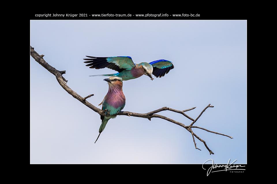 Vögel – Maasai Mara 2021 – Fotoevent zur Great Migration in der Maasai Mara / Kenia